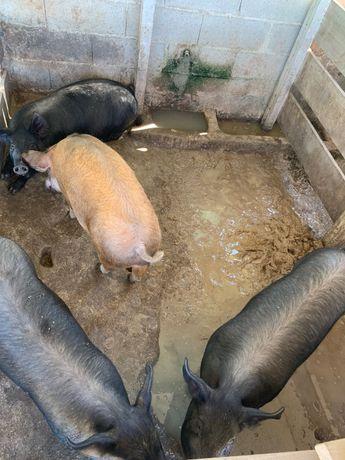 Leitoes com média de 30 quilos a 80 quilos