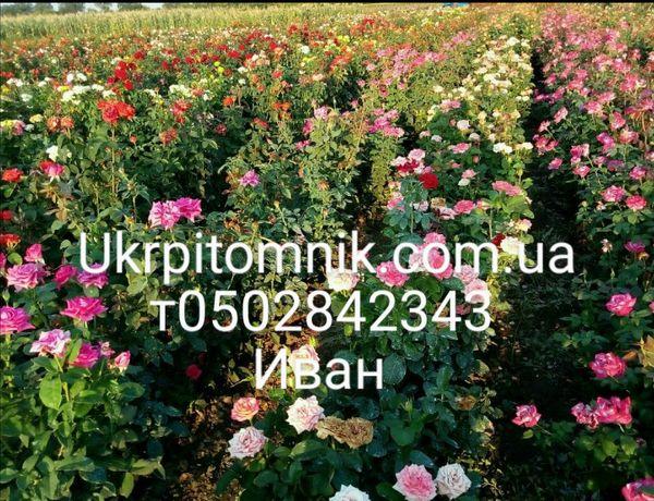 Саженцы роз и кустарников