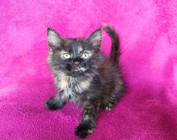 Маленькая звездочка котёнок Магика! 2.5 месяца (кот, кошка)