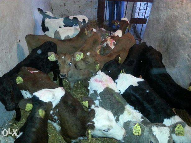 w ciągłej sprzedaży byczki cielaki cielęta mięsne