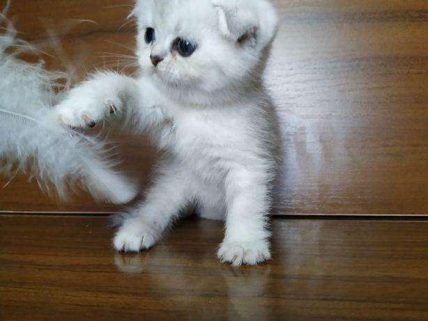Котики и кошечки шотландской породы