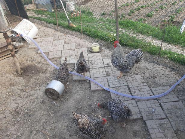 Продам курей и цыплят породы Амрокс