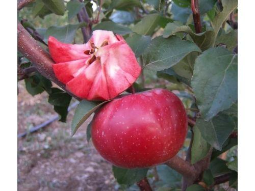 Саженцы яблони 32 сорта. Яблоня красномясая. оlx доставки нет.
