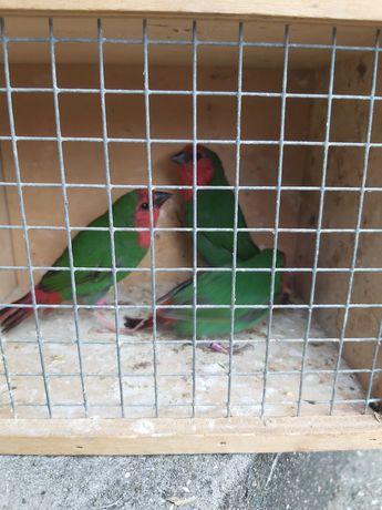 Diamantes Gould papagaio Babetes  Rolas diamante mandarins bengalins