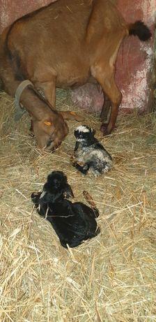Kozy anglonubijskie, saneńskie, tegoroczne, starsze, możliwy dowóz