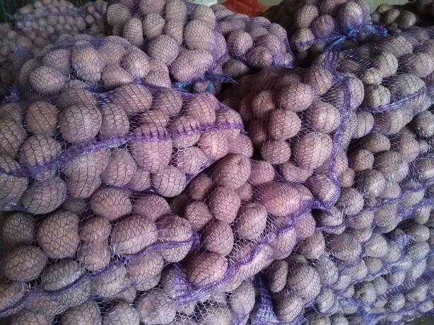 Ziemniaki jadalne Vineta Bellarosa