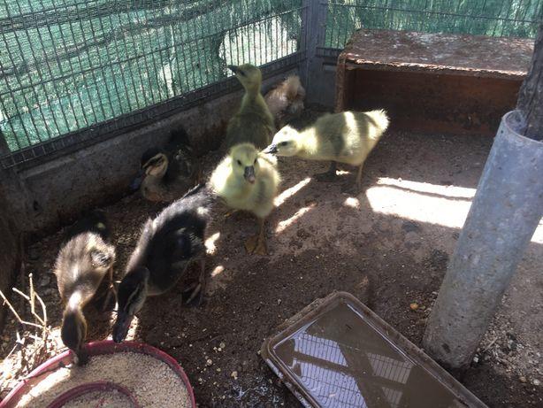 Patos riais e gansos novos