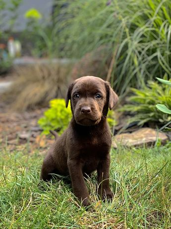 Labrador Retriever szczenieta brązowe i czarne