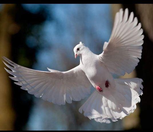Белые голуби почтовые спортивные на свадьбу
