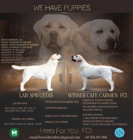 Hodowla Labrador Retriever Hero For You FCI