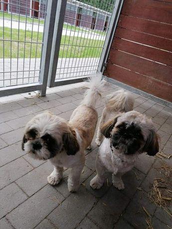 Znaleziono  psy  w lesie  Shitz-tzu