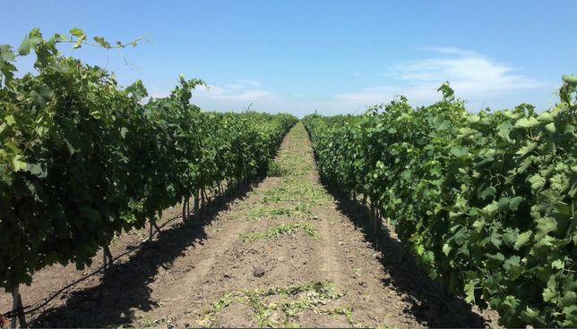 Виноградник В Одесской области