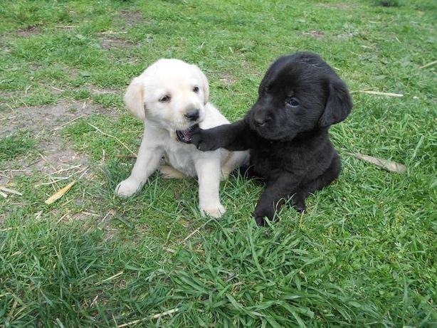 Labrador szczeniak czarny