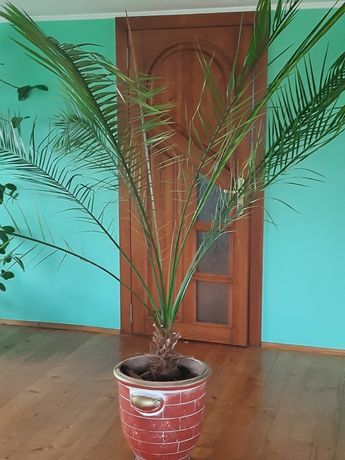 Продам вазон пальму