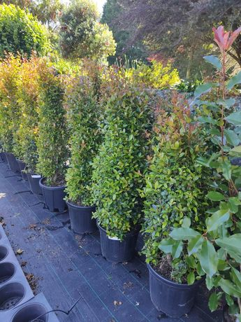 Eugenia Myrtifolia Newport 50/60cm 2L