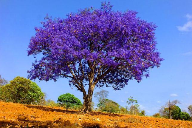 Jacarandá - Mudas