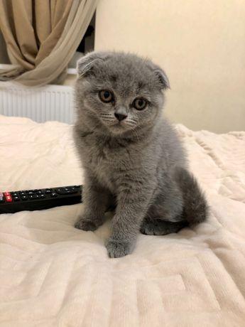 Шотландские котята, остались две девочки)