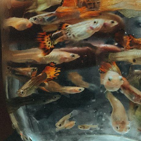 Рибка Гуппи