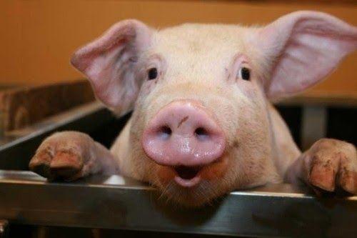 Продаємо свиню Живою вагою