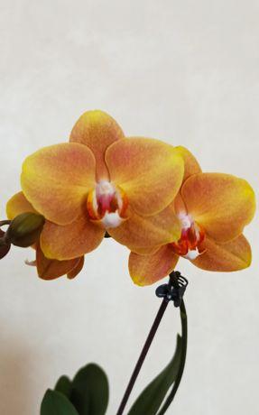 Орхидея Большая Детка