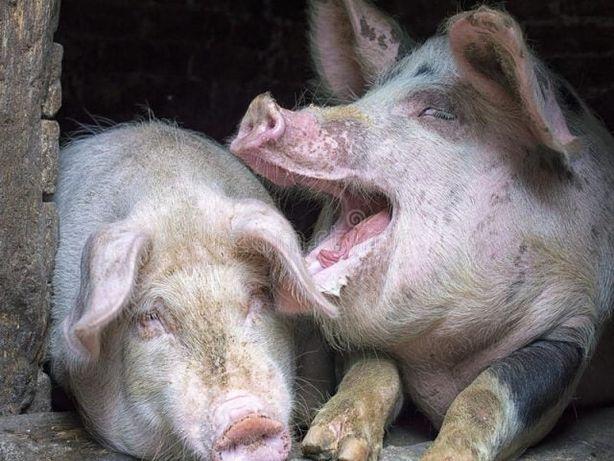 Продам свиней вес 150-160кг