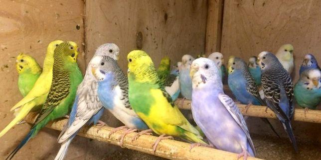 продам 60шт попугаев