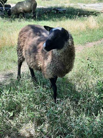 Романовские овцы. 17 голов.