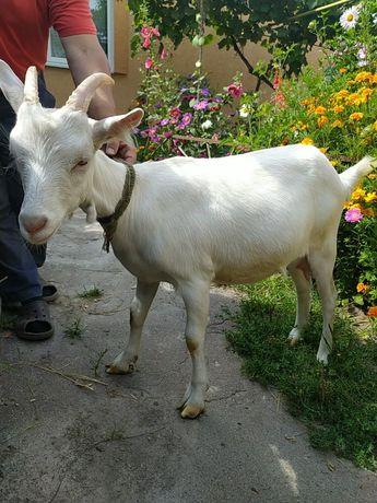 Продам козу зааненскую