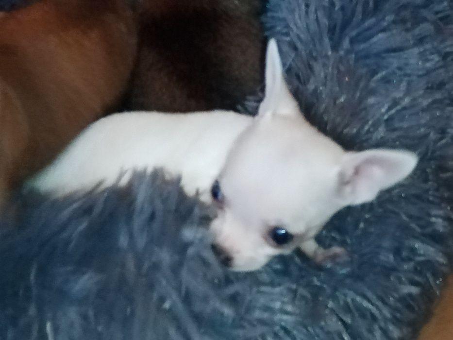 Chihuahua xxxs piesek Moszczenica - image 1