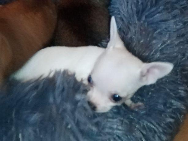 Chihuahua xxxs piesek