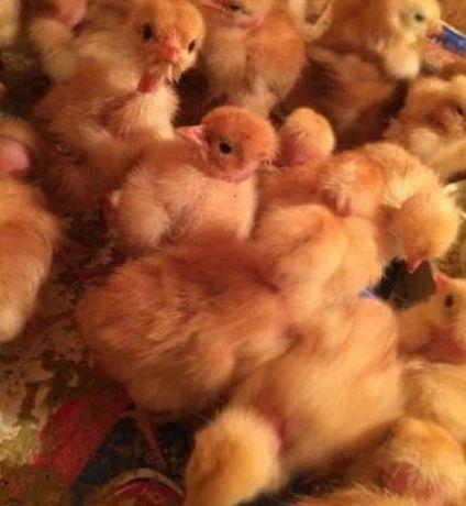 Продам суточных цыплят разных пород