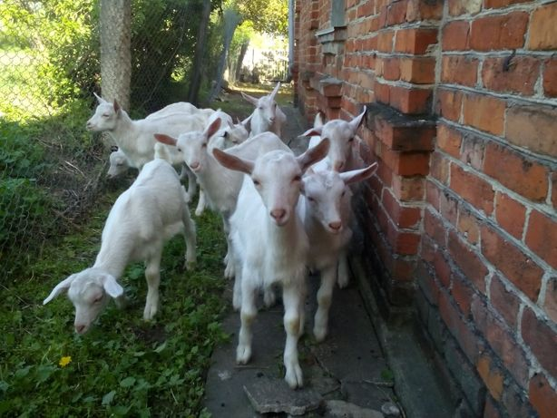 Зааненские заано - нубийские козлята козы и козлики 6 месяцев.