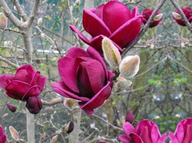 Magnolia Genia licencjowana ! HIT