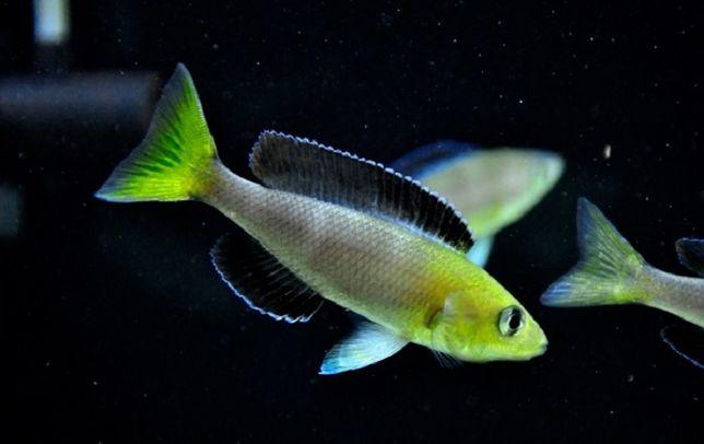 Cyprichromis sp. Lept. Jumbo (TRICOLOR) Kipili Goldhead - F1 - MALAWI