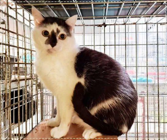 Кошечка Джуля | кошка окраса арлекин с большими грустными глазами