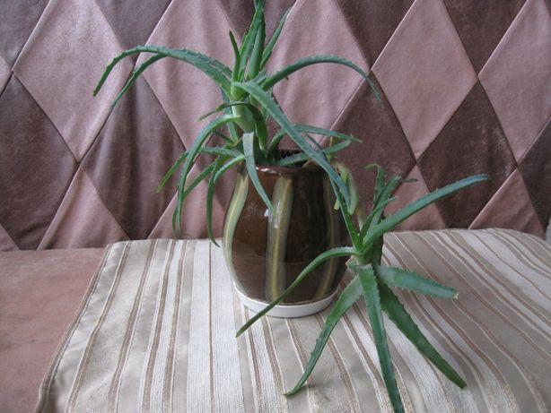 Продам комнатное растение алое.