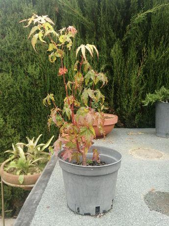 Planta Acer palmatum