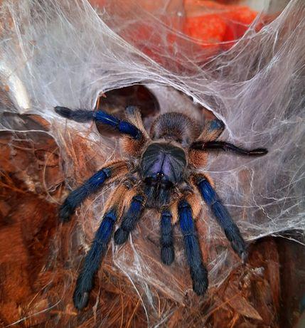 Павук Monocentropus , самка