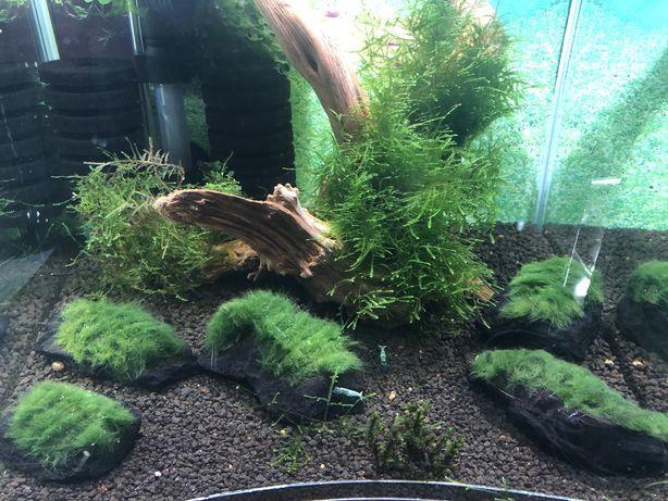 Gałęzatka na lignicie Rośliny akwariowe krewetki akwarium