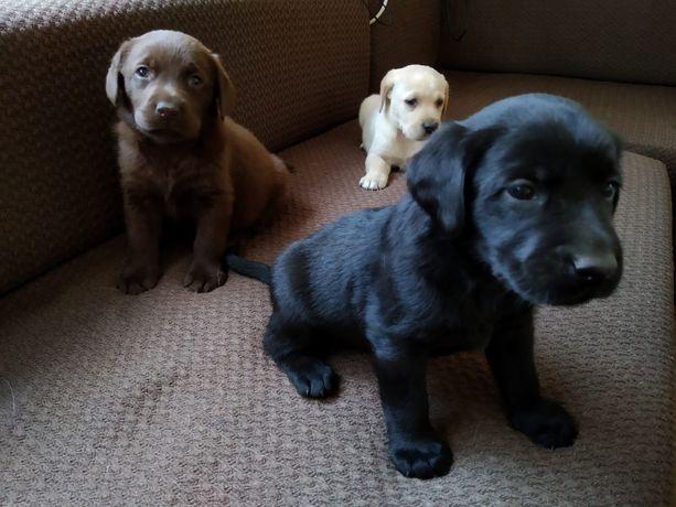 Labradory szczeniaki sliczne Z RODOWODEM