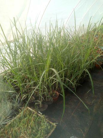 Miskant olbrzymi sadzonki doniczka 2l około 80cm