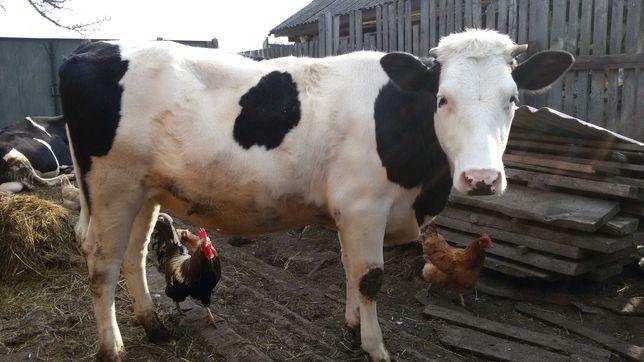 Продам телицю (корову)