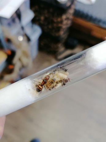Camponotus nicobarensis Q + 10-20W