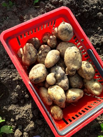 Ziemniaki odmiana Vineta, Nandina i Lili