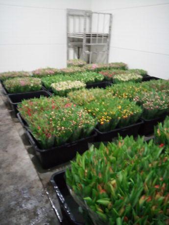Tulipany cięte na 8 marca