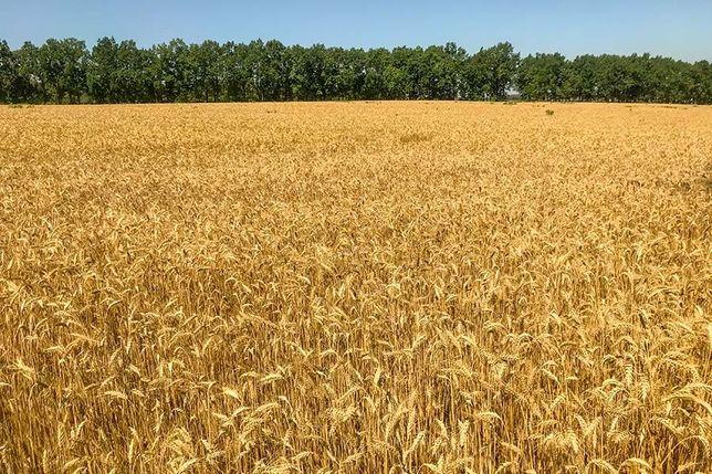 Продам фуражну пшеницю