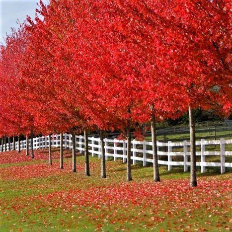 Дерева для ландшафту: клен, сакура, катальпа, береза, магнолія, липа