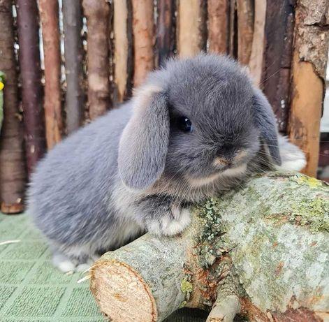 KIT Coelhos anões orelhudos, mini lop adoráveis e super inteligentes