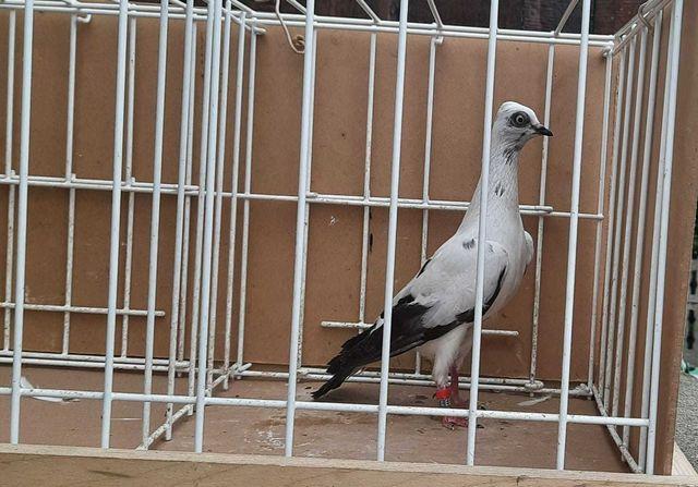 Gołębie ozdobne - Wiedeńskie wysokolotne dwa samce