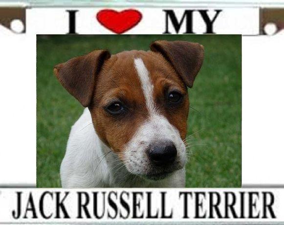 Jack Russell Terrier szczenięta wzorzec rasy SMARTIE JACKS Bełchatów